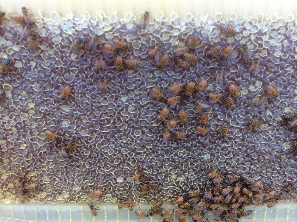 Ripe and capped honey in a Flow frame
